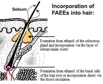 FAEEs in Hair